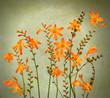 Wild crocosmia flowers