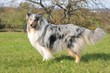 Collie Blue- merle