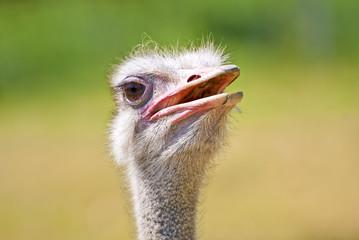 Kopfporträt eines Vogelstrauß