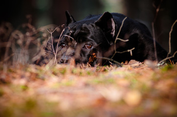 cane corso dog lying in the forest