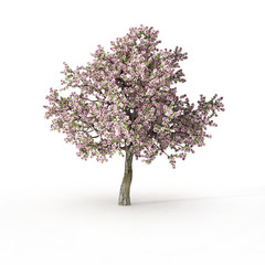 flowering tree on white