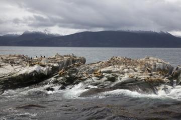Sea lions & Cormorants, Tierra Del Fuego, Ushuaia, Argentina