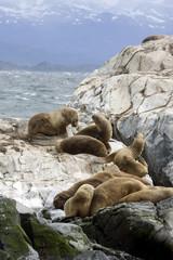 Southern Sea lions, Tierra Del Fuego, Ushuaia, Argentina