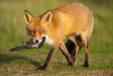 Red fox walks with a prey