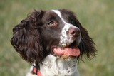 Working type english springer spaniel gundog