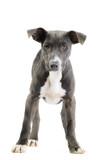Hound/pitbull/weimaraner mix puppy poster