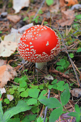 Red poisoned mushroom growing in the summer forest