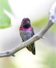 hummingbird, costas male on branch, phoenix, arizona, usa.