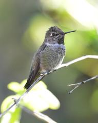 hummingbird, costas female on branch, phoenix, arizona, usa.