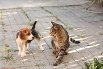 Beagle puppy and cat