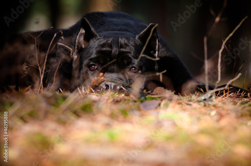 cane corso dog portrait in the forest