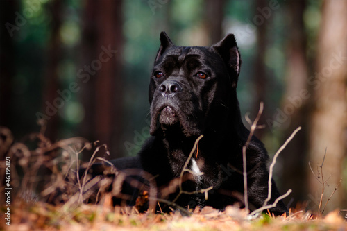 cane corso dog in the forest