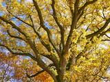 Baumkrone einer Eiche im Herbstlicht