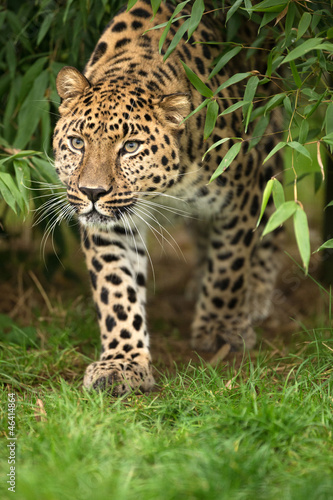 Fotobehang Luipaard Leopard Emerging from Leaves
