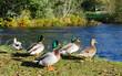Group of ducks on river coast