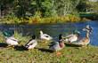 European ducks close to the river