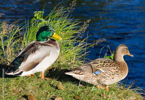 Duck couple on river coast