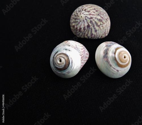 drei Muschelgehäuse
