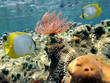 Feather duster worm with butterfly fish in a coral reef