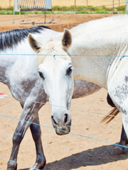 Breed Andalusian mares in paddock