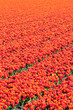 Field of red tulips. Abstract background.