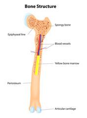 Bone Structure. Vector scheme