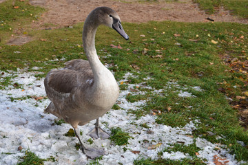 Young swan walks on the first snow