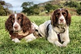 Two working type english springer spaniel gundogs lying together