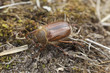Chafer beetle (amphimallon falleni) on ground, macro photo