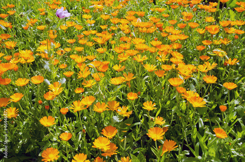 medical herbs calendula blossoming in garden