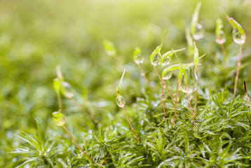 drops of morning dew on the green moss
