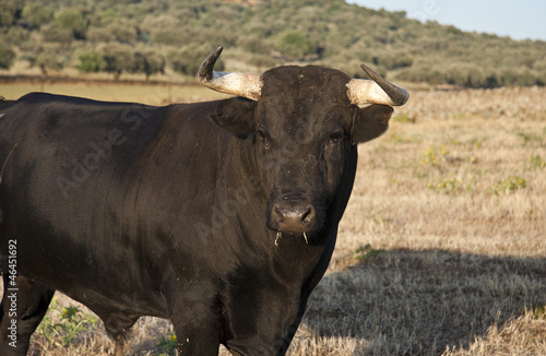 Staande foto Stierenvechten Young fighting bull portrait
