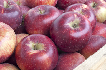 Many fresh ripe organic apples closeup