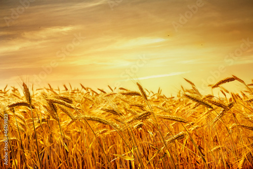 A field of wheat in the golden light of sunset.