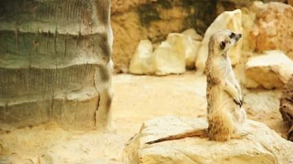 Small meerkat