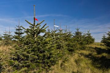 Nordmanntannen für den Weihnachtsbaumverkauf