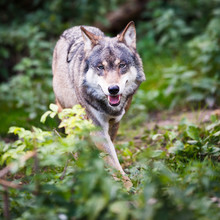 Gris / Eurasie loup (Canis lupus)