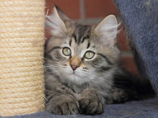 Cucciolo di gatto siberiano sul tiragraffi