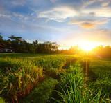 Fototapeta Bali - krzew - Pola ryżowe