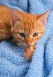Chaton roux fond bleu