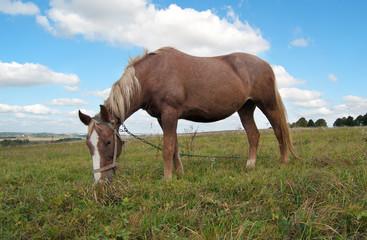 grazing mare