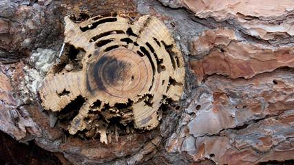 tratto d'un albero di pino abbattuto