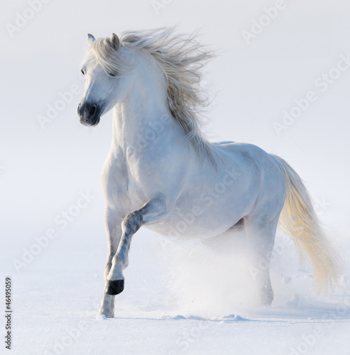 Galloping snow-white horse
