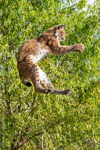Foto op Canvas Lynx Playful Eurasian Lynx Jumping to Catch Something in Paws