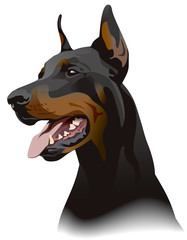 Doberman dog. Illustration.