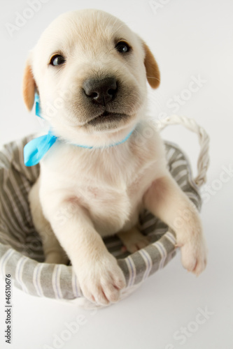 Puppy in basket - portrait of cute labrador puppy