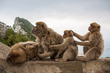 Apes of Gibraltar