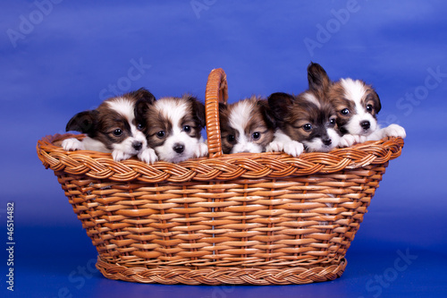 Five Papillon Puppies, (Continental Toy Spaniel) in basket