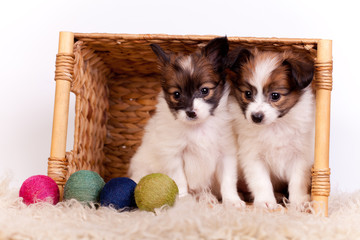 Two Papillon Puppies (Continental Toy Spaniel), on white