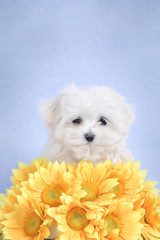 Maltese  puppy portrait